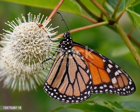 Monarch (Danaus plexippus) nectaring on a Buttonbush flower - Ontario, Canada