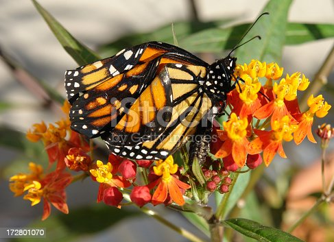 Monarch Butterfly clings to a Milkweed plant drying it's wings before it takes flight.