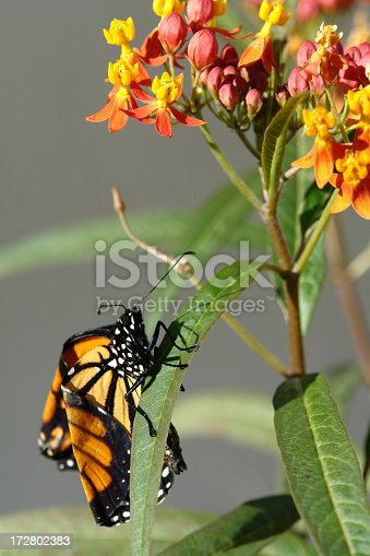 Newwly hatched Monarch Butterfly drys it's wings in the sun
