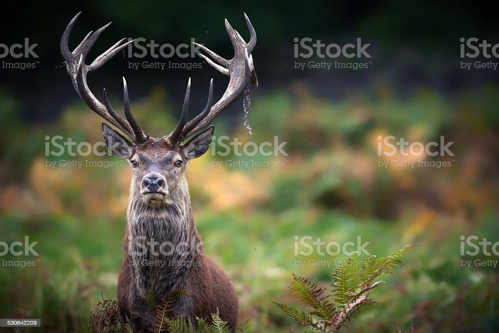 Monarch of the Glen stock photo