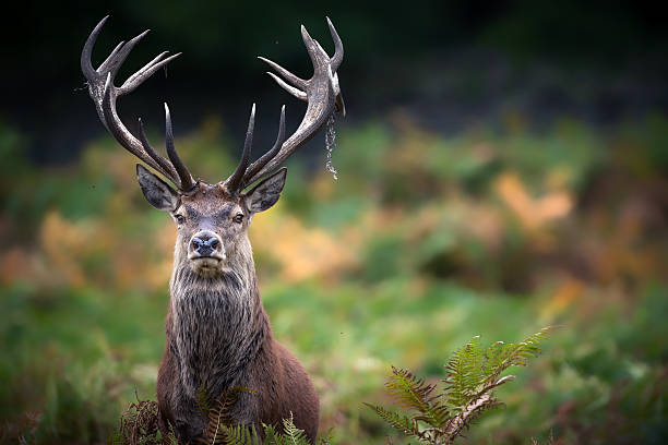 Monarch of the Glen A beautiful red stag portrait. rutting stock pictures, royalty-free photos & images
