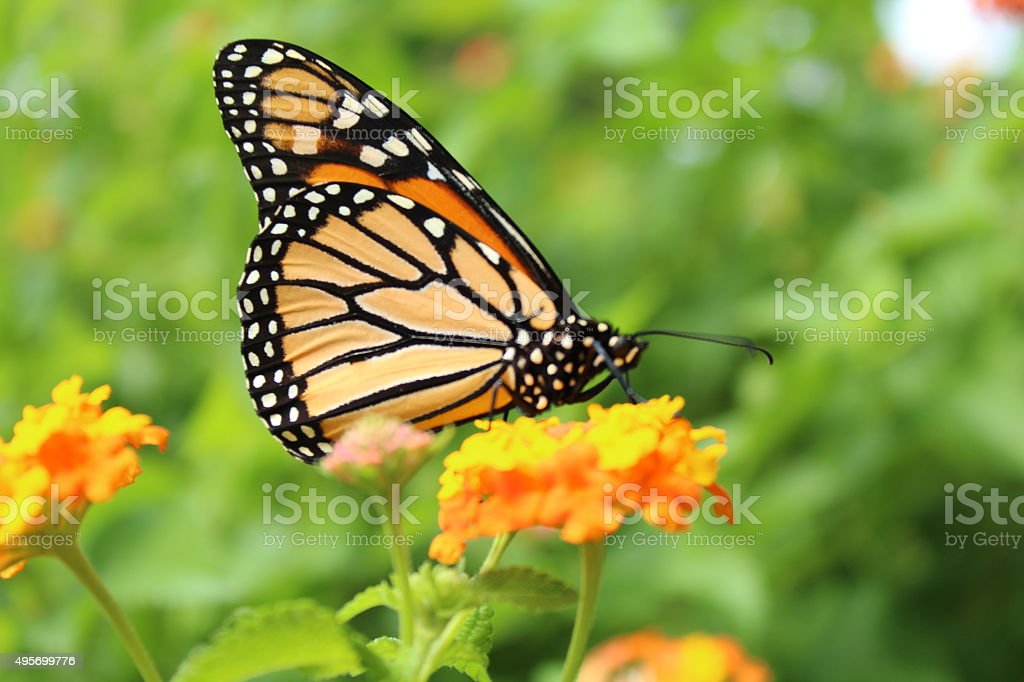 Monarch on a Flower stock photo