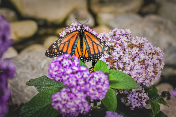monarch on flowers stock photo
