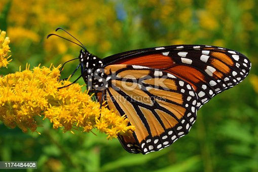 Close-up of monarch butterfly feeding on goldenrod