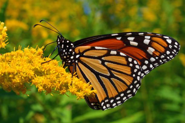 Monarch on goldenrod 1 picture id1174484408?b=1&k=6&m=1174484408&s=612x612&w=0&h=1fgwvhfxgab seyvbkosveoj4ipgmebhsoawe ztq6o=