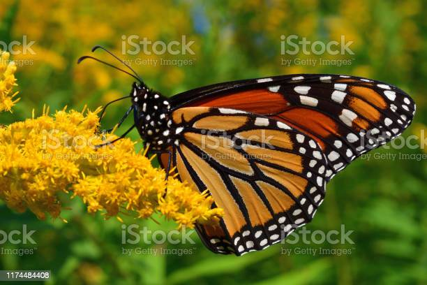 Photo of Monarch on goldenrod 1