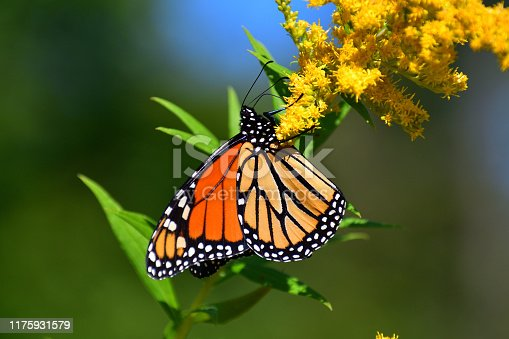 Medium close-up of monarch butterfly feeding on goldenrod in September