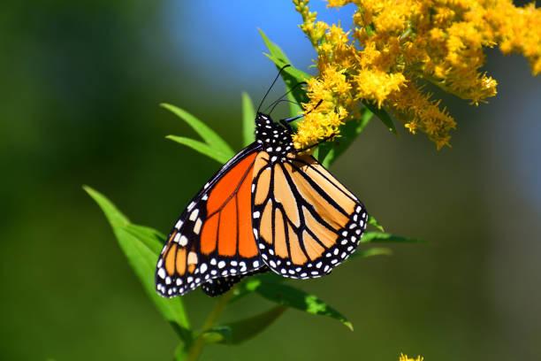 monarch på goldenrod medium close-up - perenn bildbanksfoton och bilder