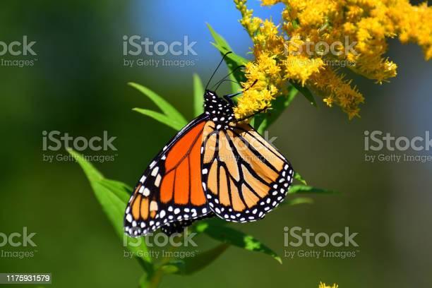 Photo of Monarch on goldenrod medium close-up