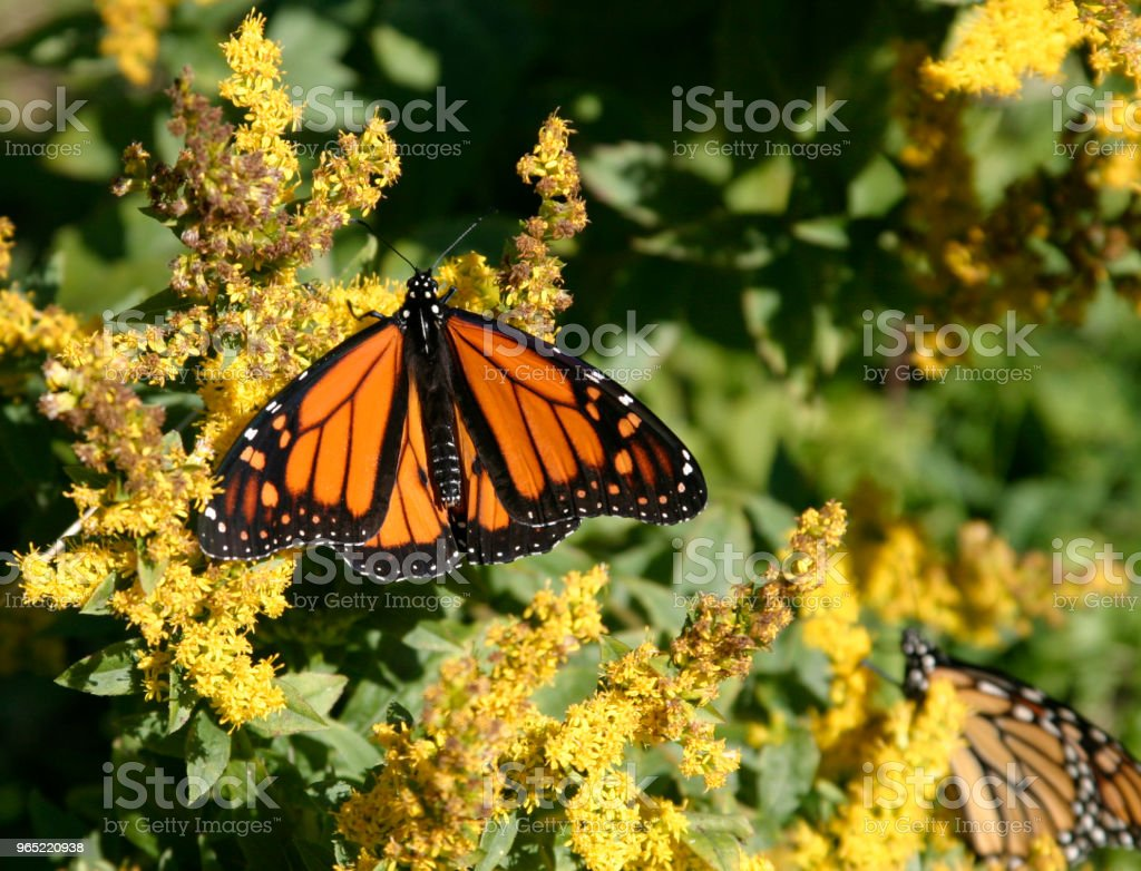 Monarch on goldenrod zbiór zdjęć royalty-free