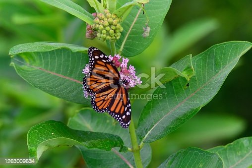 A Monarch butterfly feeding on a common swamp milkweed blossom, eating its nectar before laying its eggs under the leaves so the emergent caterpillars will have food after they hatch, there is no benefit to the milkweed from this relationship.