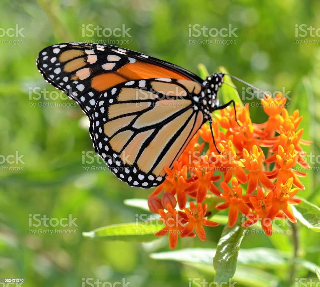Monarch on Orange Flower royalty-free stock photo