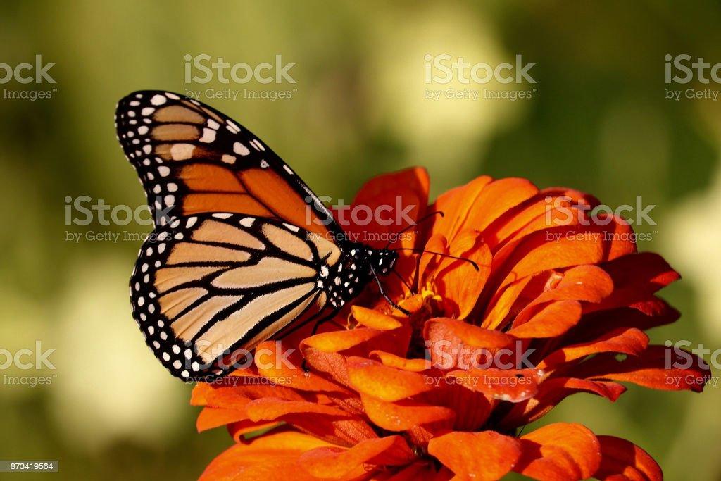 Monarch on Orange Zinnia 2 stock photo