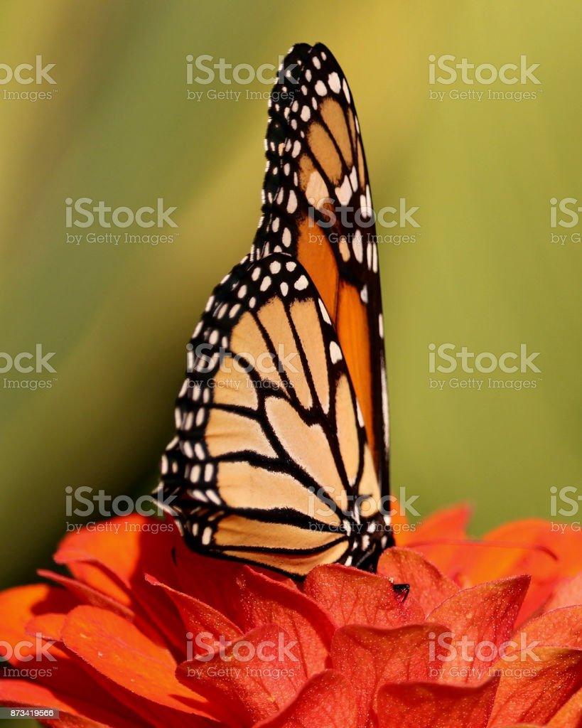 Monarch on Orange Zinnia 3 stock photo