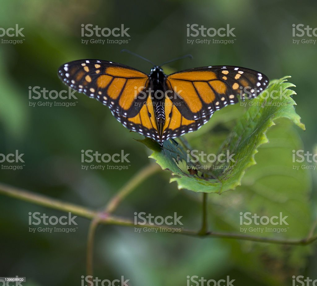 Monarch on Pink Flowers stock photo