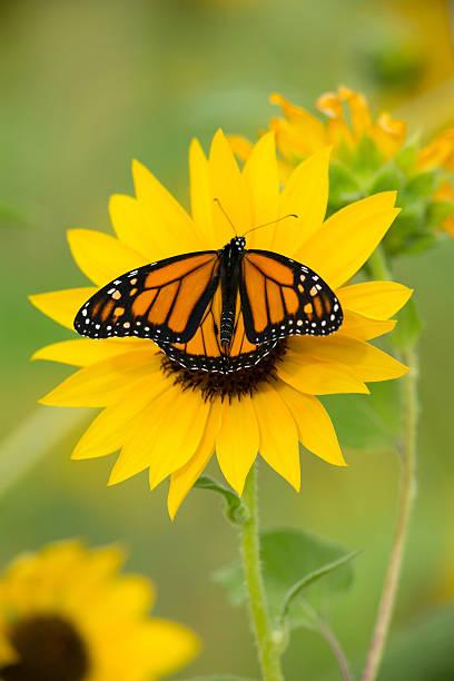 Monarch on sunflower picture id481289269?b=1&k=6&m=481289269&s=612x612&w=0&h=oxh0osm468jhv4y 87rfmrxk5kecmzjl8gk5w82snve=