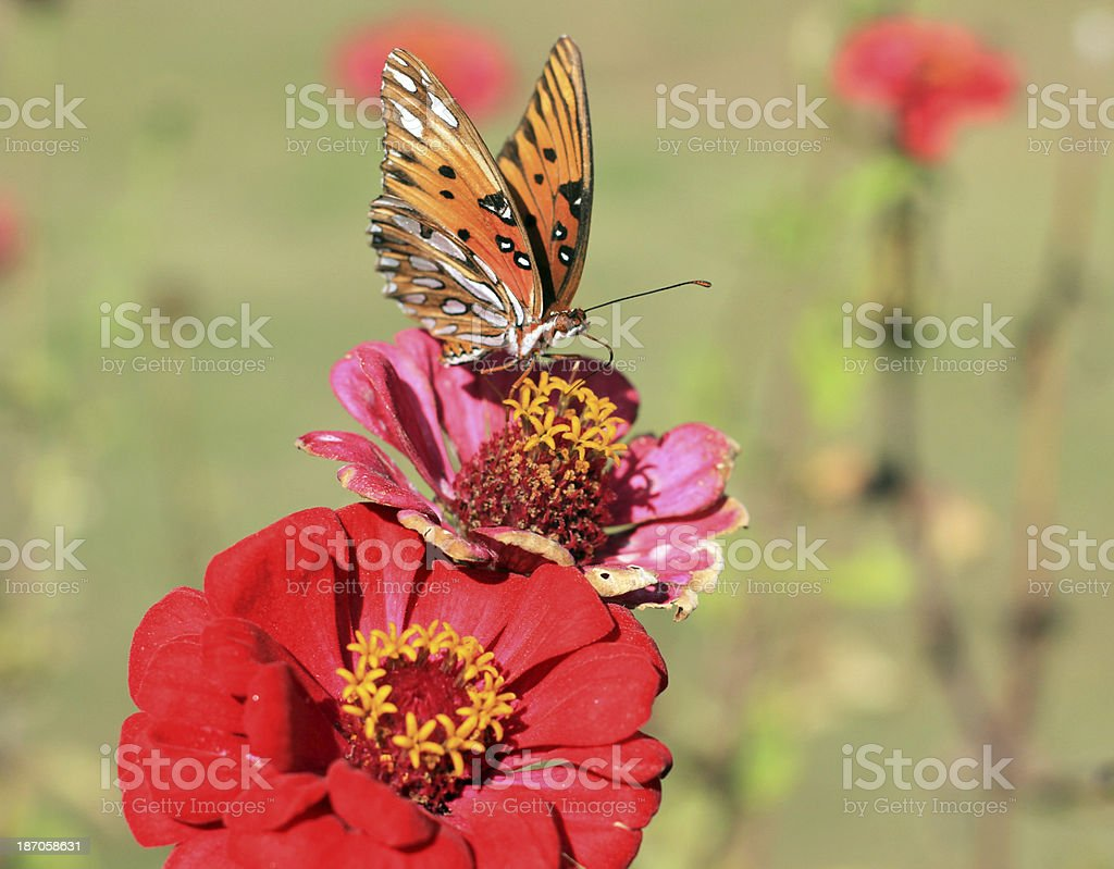 Monarch on top of flower royalty-free stock photo