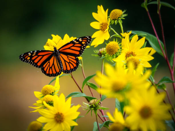 Monarch on yellow sunflowers beautiful monarch butterfly resting on yellow sunflowers with blurry background butterfly stock pictures, royalty-free photos & images