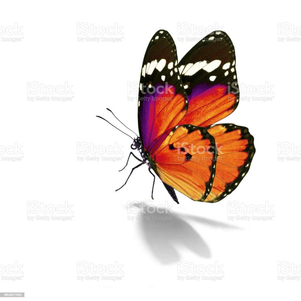 monarch orange butterfly stock photo