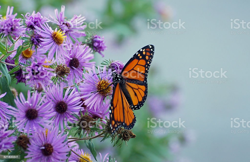 Monarch perched on Aster stock photo
