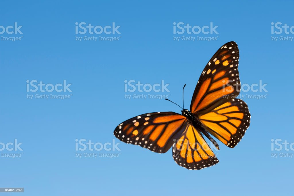 Monarch stock photo