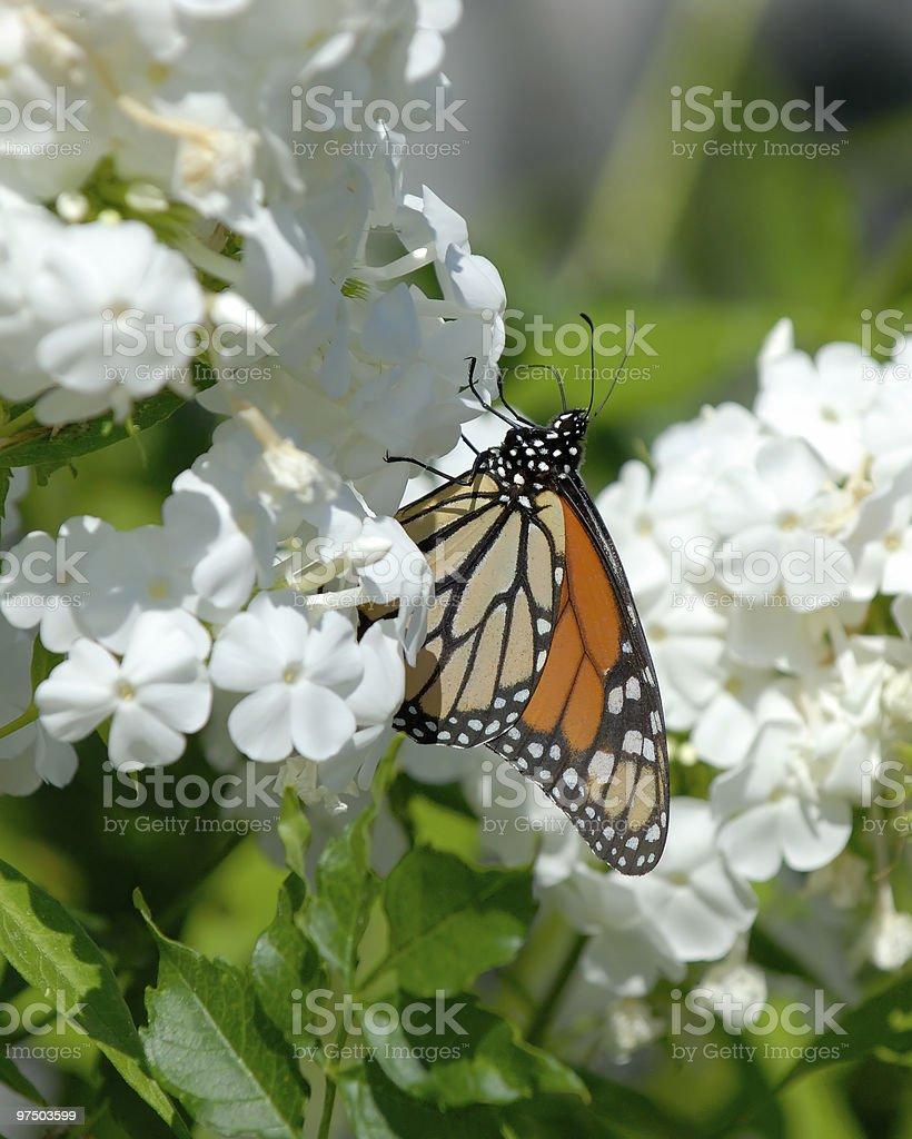 Monarch royalty-free stock photo