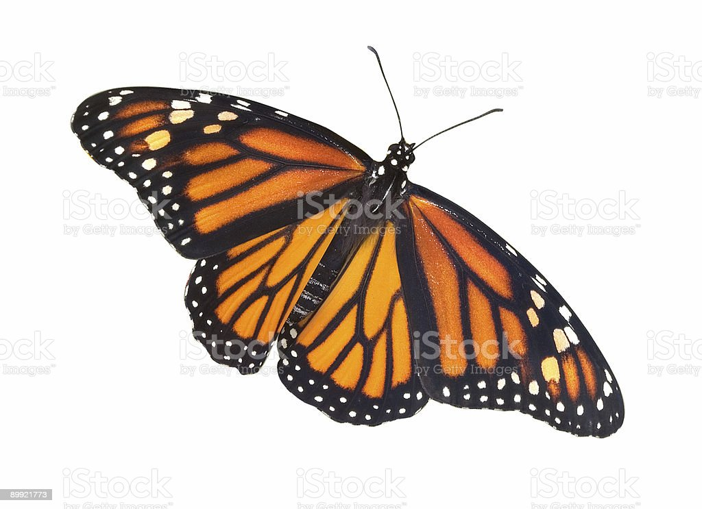 Monarch with open wings on white background royalty-free stock photo