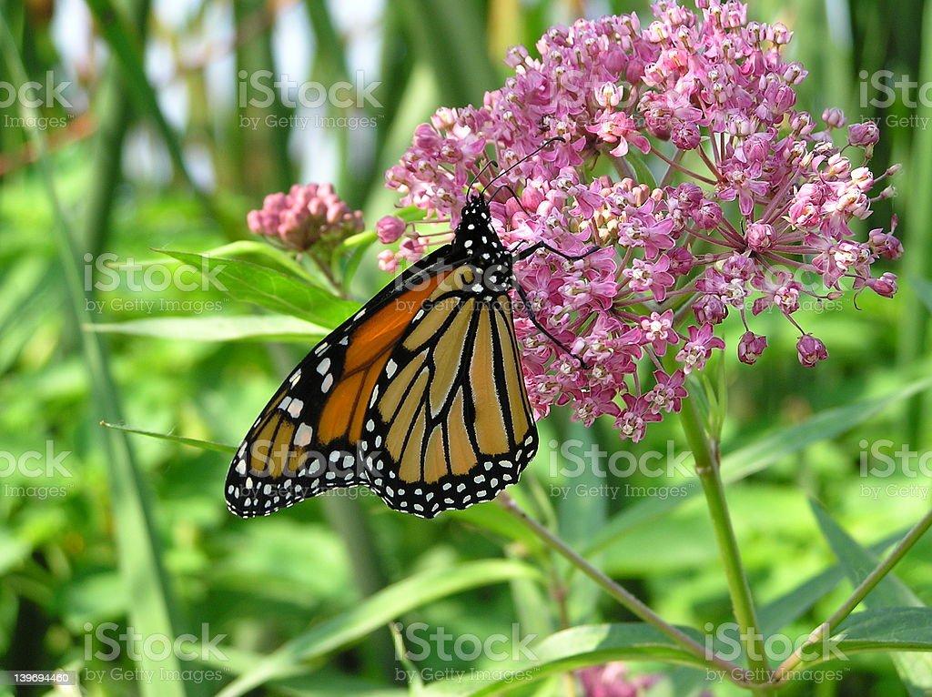 Monarch-2 stock photo