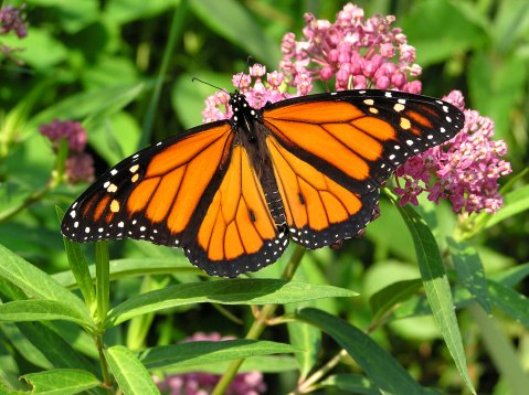 A monarch butterfly sipping nectar from swamp milkweed flower.