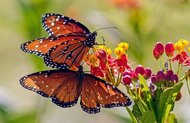 Monarchs on butterfly bush picture id538590758?b=1&k=6&m=538590758&s=612x612&w=0&h=rjzzxl3iqsmoea20ynrmtrop8rutazcchxyrp45xtzs=