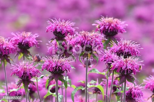 Monarda is a flower that brighty and powerflly colors the flower bed in summer, and a refreshing fragrance.