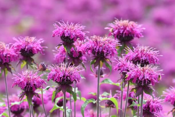 Monarda (Monarda didyma) flowers – zdjęcie