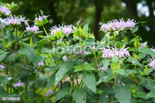 Monarda or bee balm or horsemint or oswego tea or bergamot green plant with purple flowers