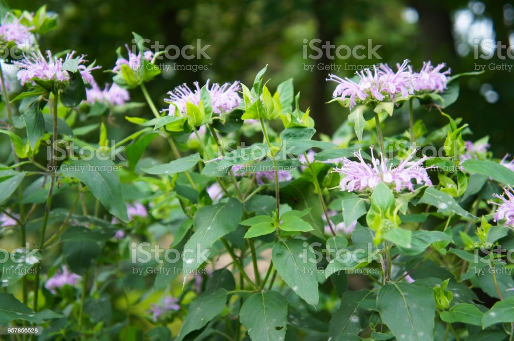 Monarde ou abeille Baume ou thé horsemint ou oswego, bergamote vert plante aux fleurs violettes - Photo