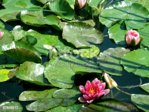 istock Monet's lilly pads 97646512