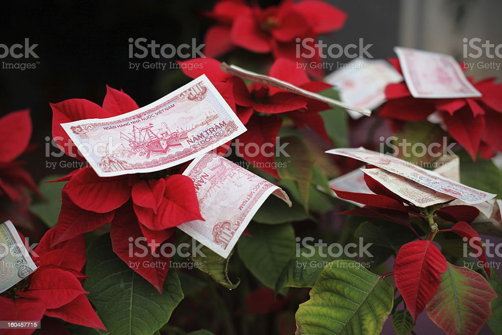 Money offering in Vietnam for Chinese new year on poinsettia royalty-free stock photo