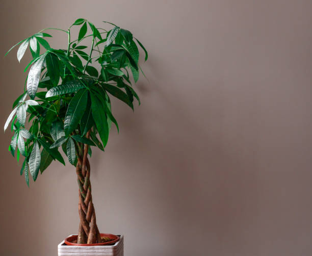 Money Tree against a Grey Background Wide Shot of a Money Tree against a Grey Background money tree stock pictures, royalty-free photos & images