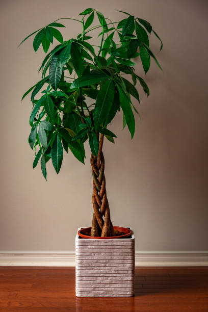 Money Tree against a Grey Background Portrait Shot of a Money Tree against a Grey Background pachira stock pictures, royalty-free photos & images