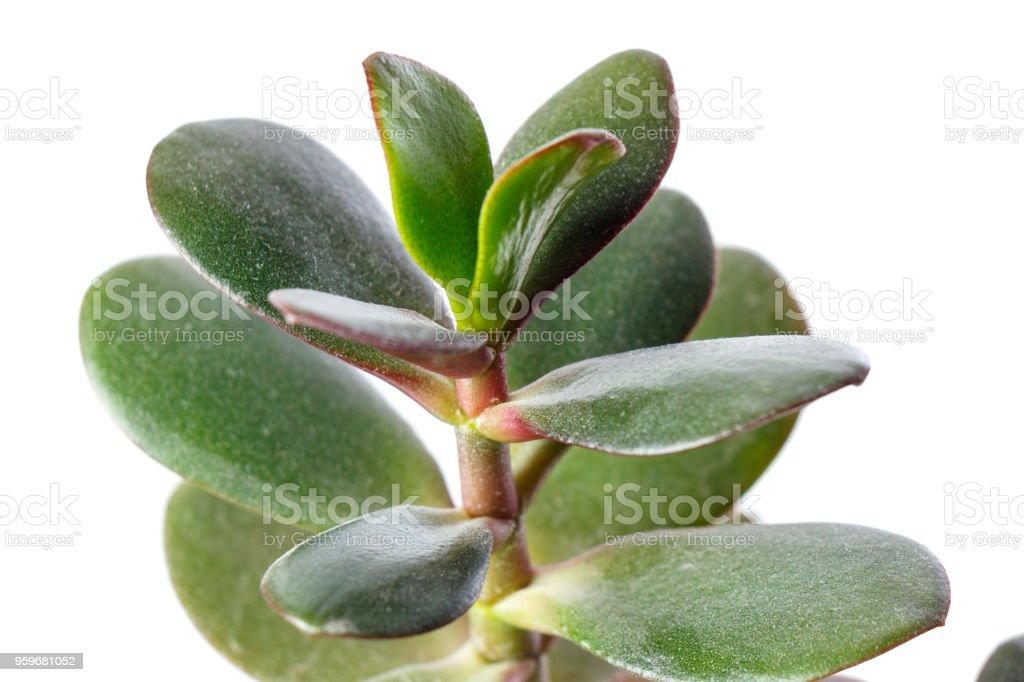 money tree, crassula plant isolated on white background stock photo
