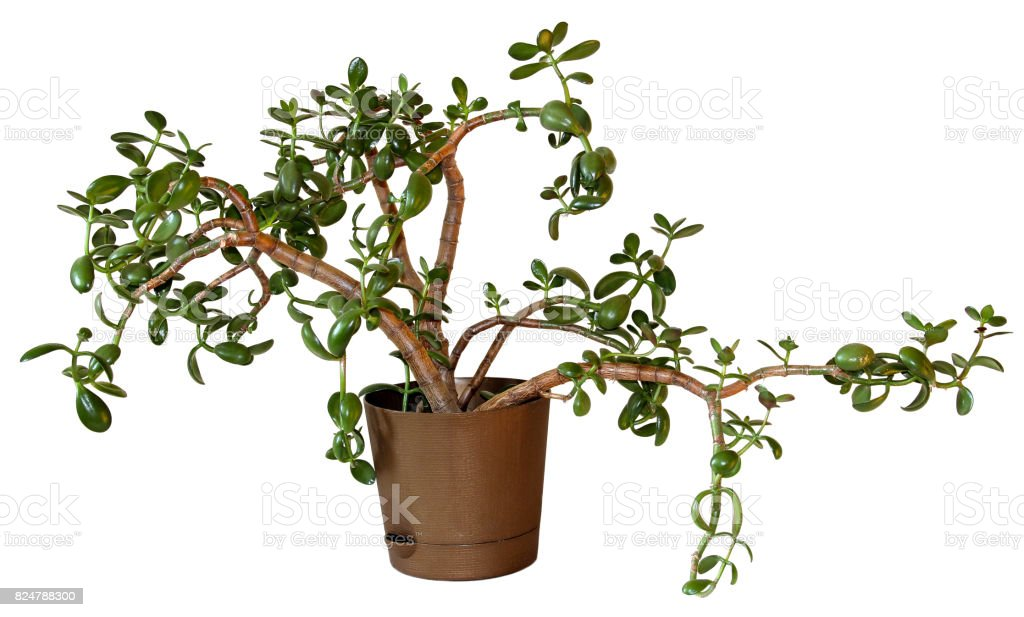 Money Tree (Crassula) flower in a brown pot isolated on white stock photo