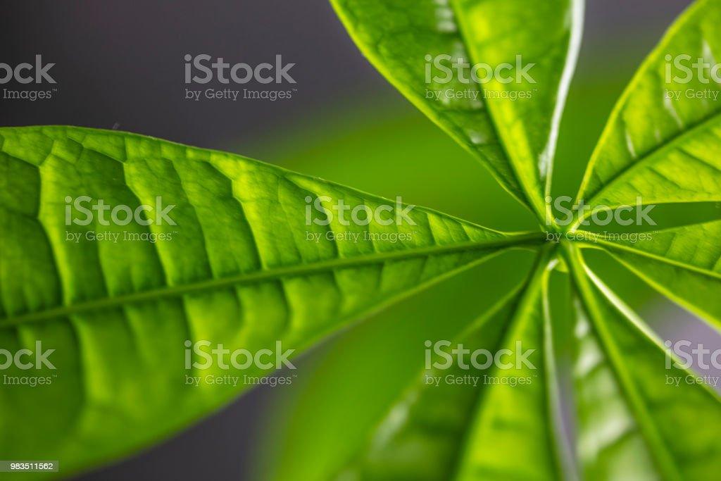 Money tree leaves. stock photo