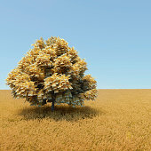Automne money tree in the middle of wheat field