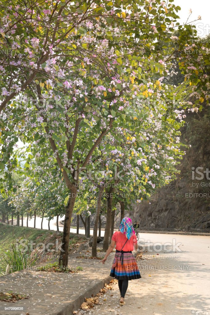 A H'Mong ethnic minority woman walks along the road with Bauhinia variegata flowers blooming. stock photo