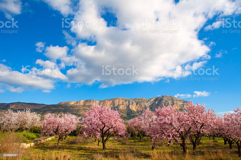 Mongo in Denia Javea in spring with almond tree flowers stock photo