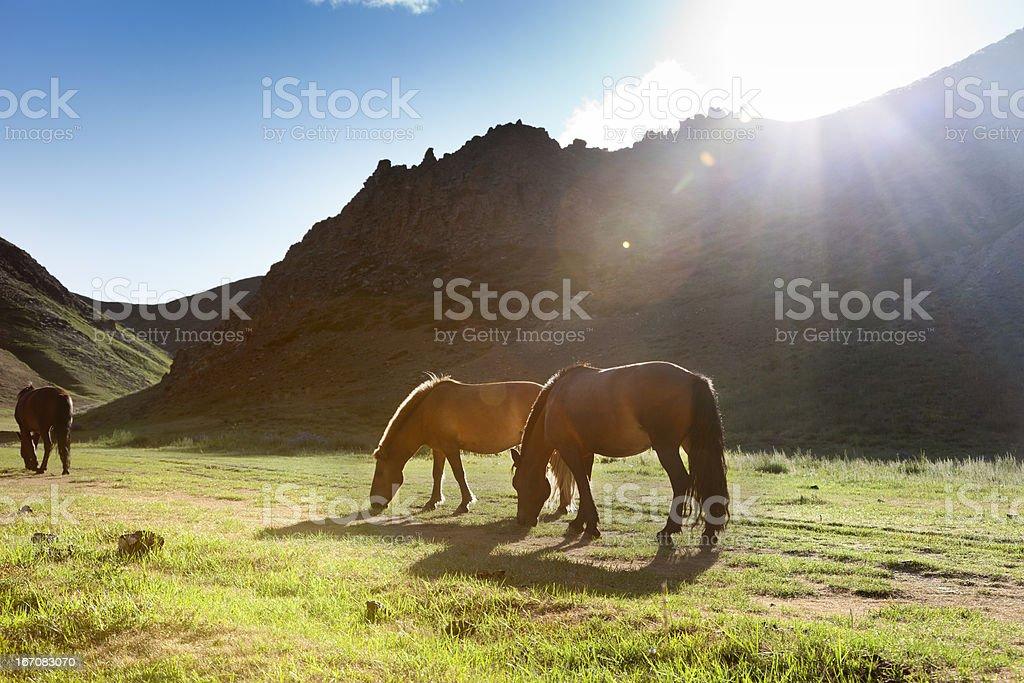 Mongolia Horse royalty-free stock photo