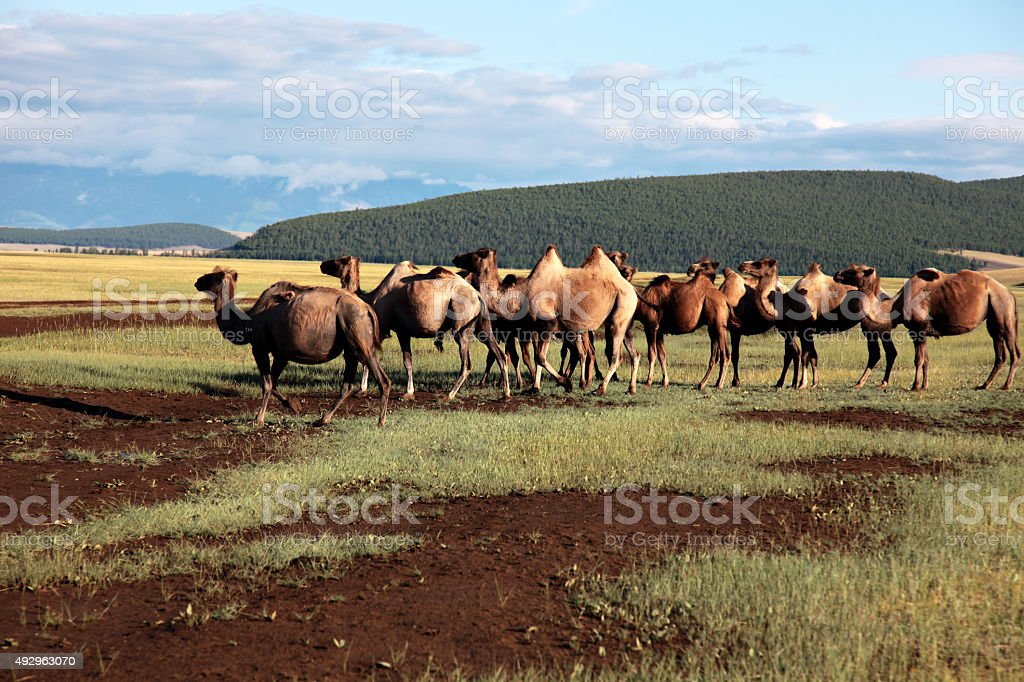 mongolian camels double hump stock photo