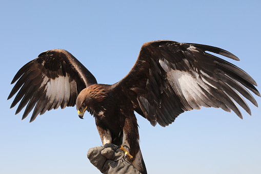 Mongolian Eagle Standing on a Glove