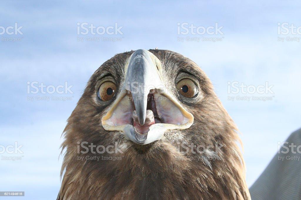 Mongolische Eagle Lizenzfreies stock-foto
