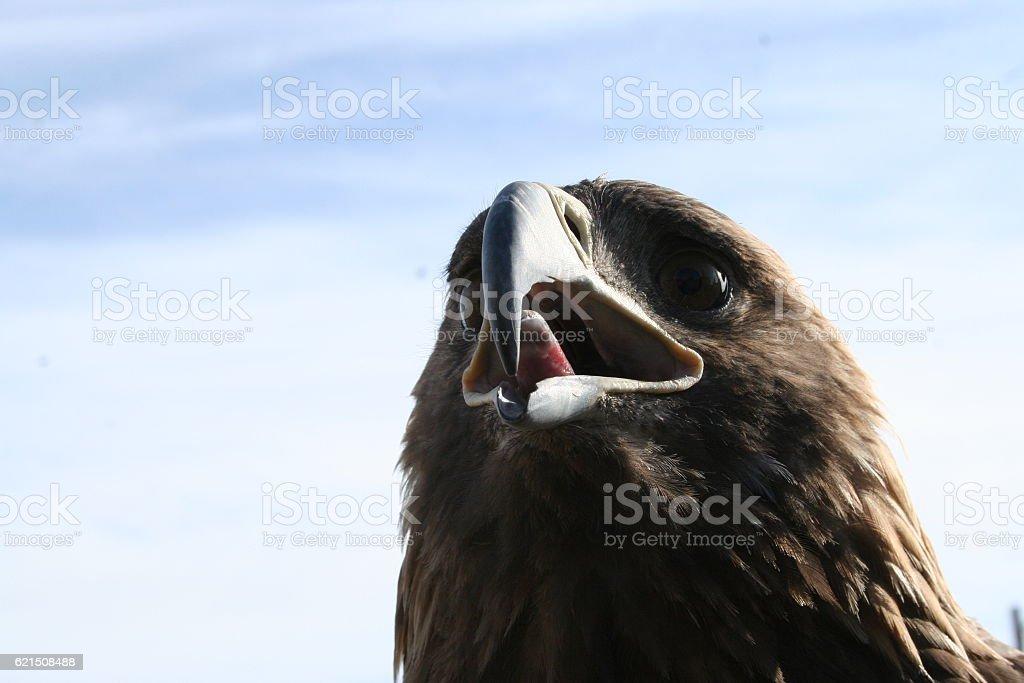Mongol eagle photo libre de droits