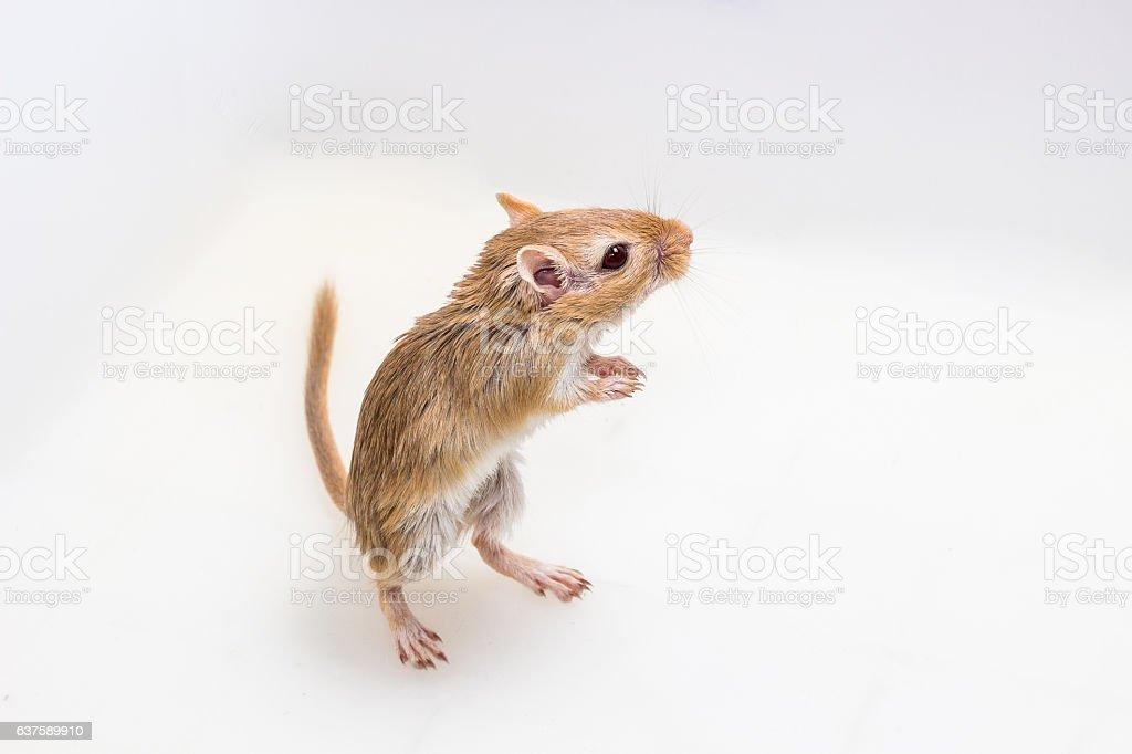 Mongolian gerbil, Desert Rat stock photo